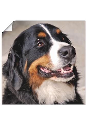 Artland Wandbild »Berner Sennenhund«, Haustiere, (1 St.), in vielen Grössen &... kaufen