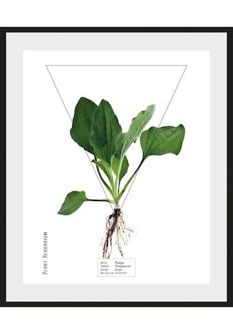queence Bild »Plantago«, (1 St.) kaufen