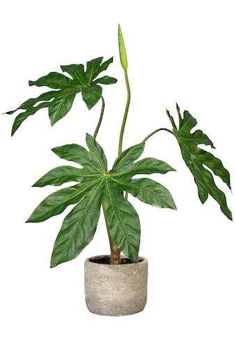 Creativ green Künstliche Zimmerpflanze »Aralie« (1 Stück) kaufen