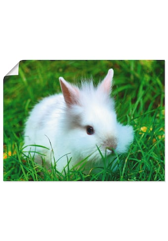 Artland Wandbild »Weisses Zwergkaninchen Baby«, Wildtiere, (1 St.), in vielen Grössen... kaufen
