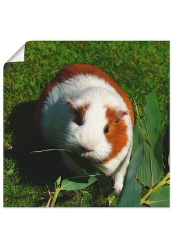 Artland Wandbild »Orange weisses Meerschweinchen«, Haustiere, (1 St.), in vielen... kaufen