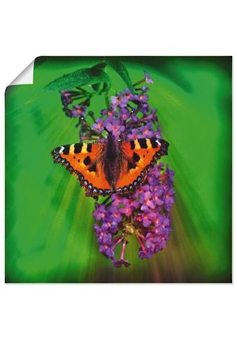 Artland Wandbild »Kleiner Fuchs im Sonnenstrahl«, Insekten, (1 St.), in vielen Grössen... kaufen