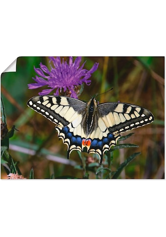 Artland Wandbild »Schwalbenschwanz im Anflug«, Insekten, (1 St.), in vielen Grössen &... kaufen